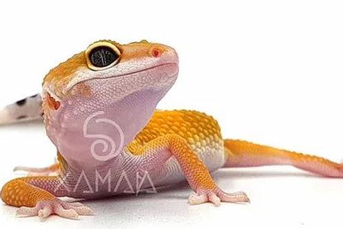 Gecko Leopardo Super Hypo Tangerine