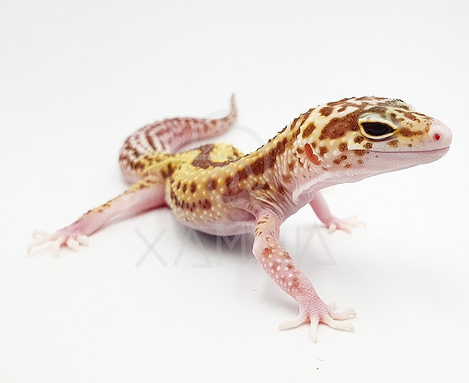 Gecko Leopardo Raptor H
