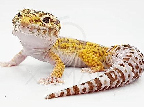 Gecko Leopardo Tremper Het Blizzard