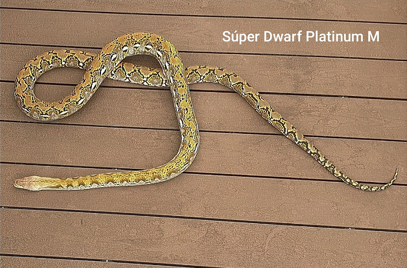 Super Dwarft Platinum M 7,620 kg