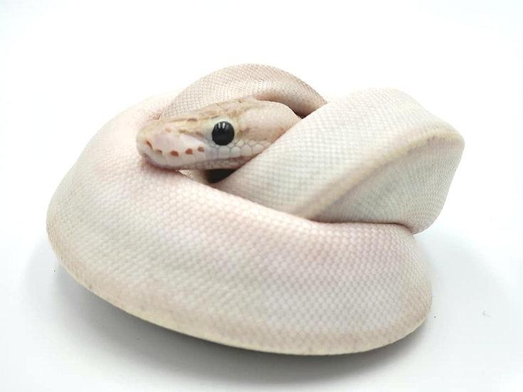 Ivory Poss Lesser