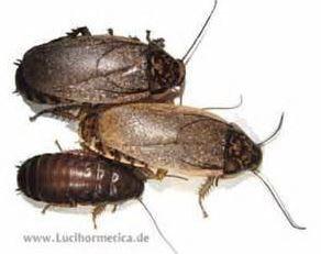 Cucaracha Losbter