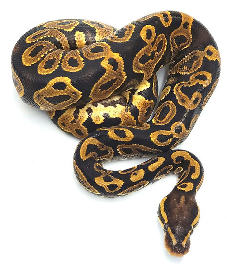 Yellow Belly M