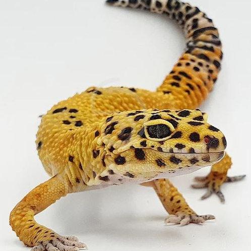 Gecko Leopardo Tangerine