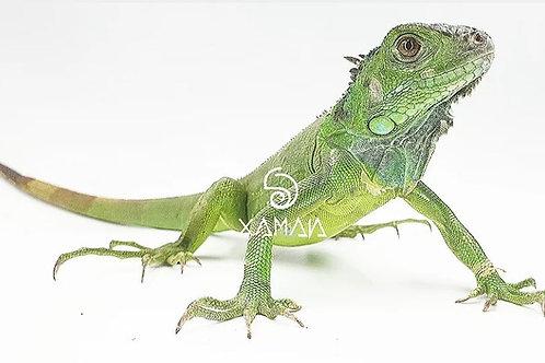 Iguana Verde S/s 38cm Cabeza-Cola