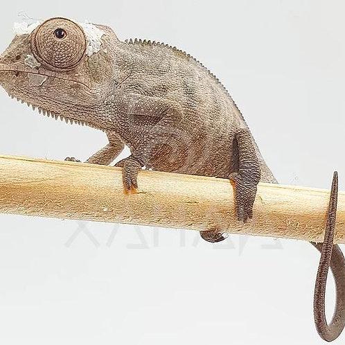 Camaleón Pantera Nosy Be