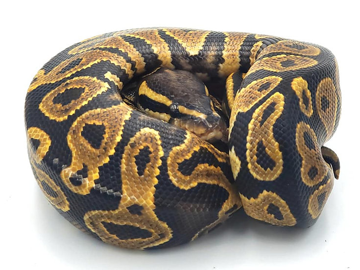 Yellow Belly H