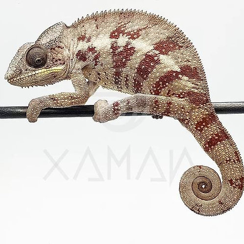 Camaleón Pantera Adulto