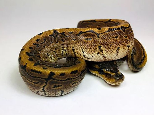 Pinstripe Yellow belly