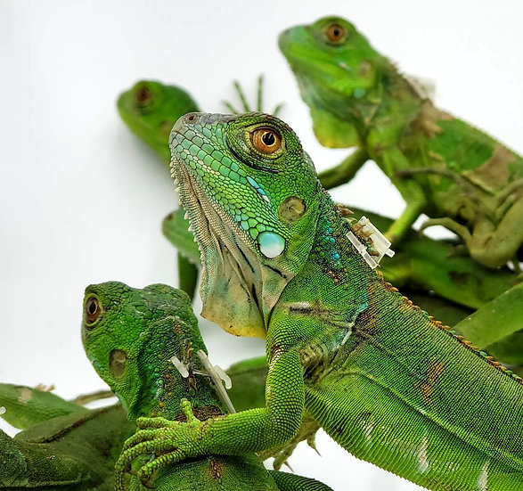 Iguana Verde Cria