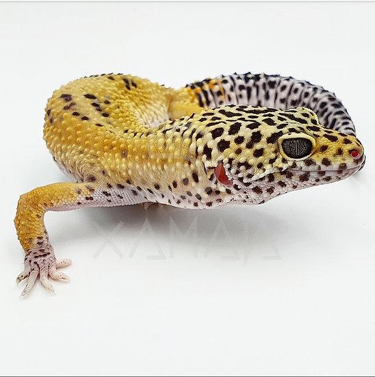Gecko Leopardo Mack Snow