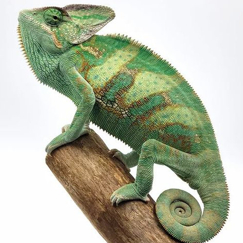 Camaleón de Velo Juvenil 20-25 cms