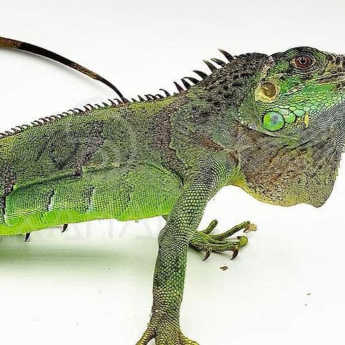 Iguana Verde S/s 52 cm Cabeza-Cola