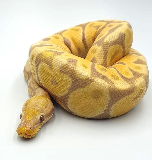 Banana Yellow Belly Hembra 310gr