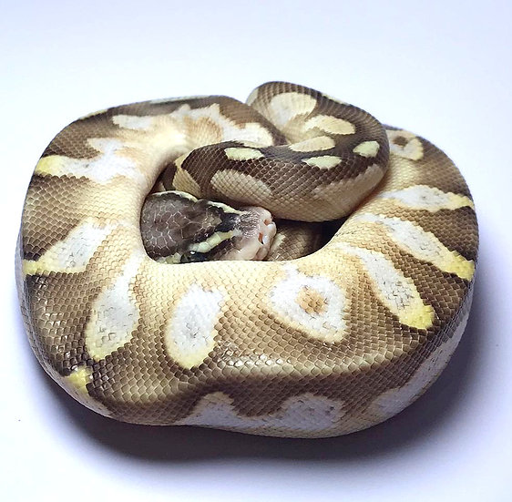 Pastel Calico Butter Hembra