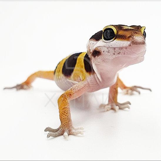 Gecko Leopardo High Yellow