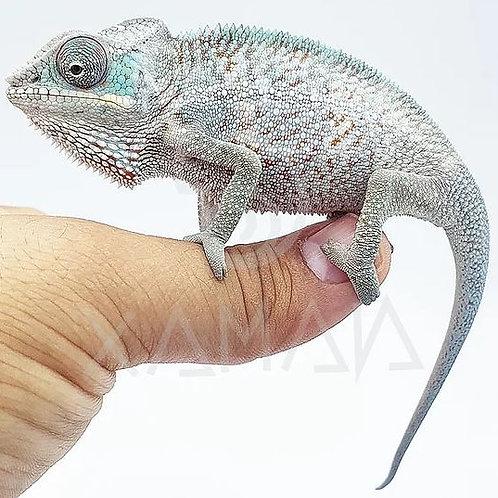 Camaleón Pantera Nosy Faly (10-12 cm)