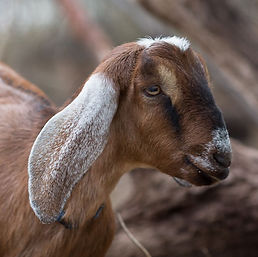 Goats_035_edited.jpg