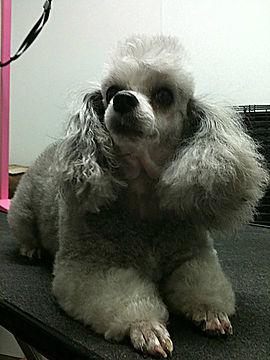 Dark Poodle Grooming