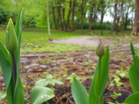 Tulpen aus dem Bundestag blühen in Schneidlingen
