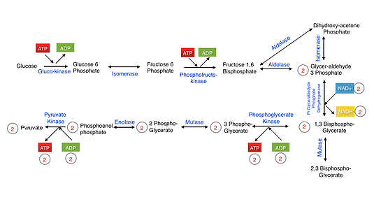 Glycolysis_including_irreversible_steps.