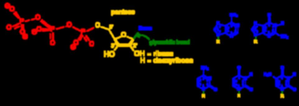 800px-Nucleotides_1.svg.png