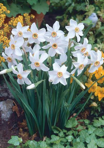 Narcissi 'Old Pheasants Eye'
