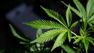 Decriminalising Marijuana in India