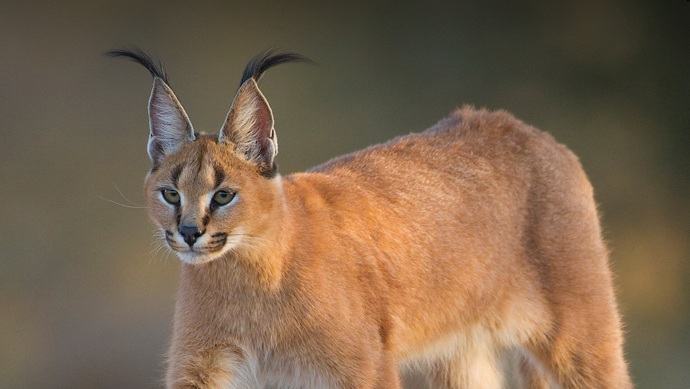 The caracal is a medium-sized wild cat native to Africa, the Middle East, Central Asia, and arid areas of Pakistan and northwestern India.