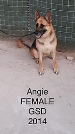 CWD 3 Angie Female GSD 2014 (2).jpg