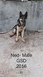 CWD 8 Ned Male GSD 2016 (2).jpg