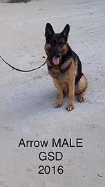 CWD 6 Arrow Male GSD 2016 (2).jpg