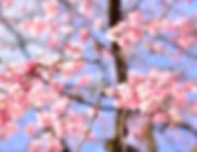 sakura-2443307_1920.jpg