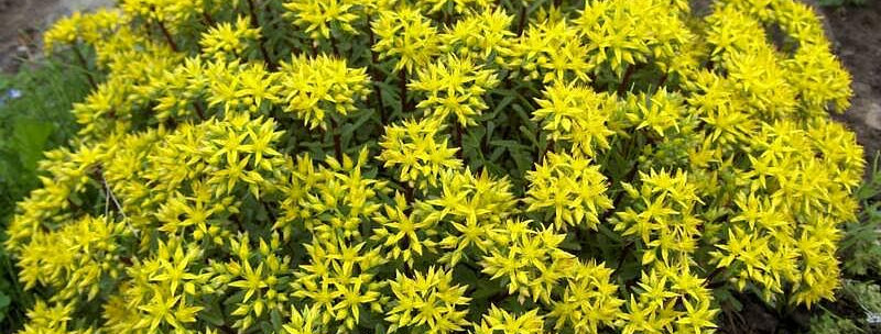 Sedum Weihenstephaner (Gold)