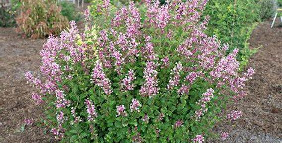 'Bloomerang Dwarf Pink' Lilac