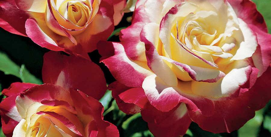 Double Delight (Tea Rose)