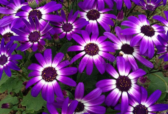 'Violet Bicolor' Pericallis Senetti