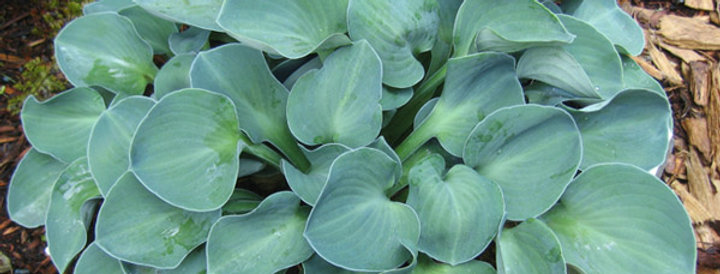 'Blue Mouse Ears' Hosta