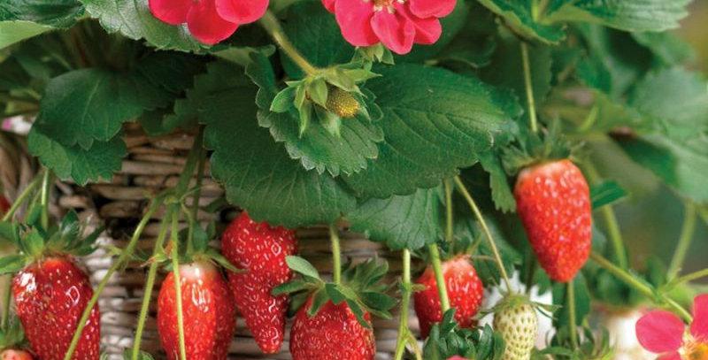 Strawberry Basket (Ruby Anne)
