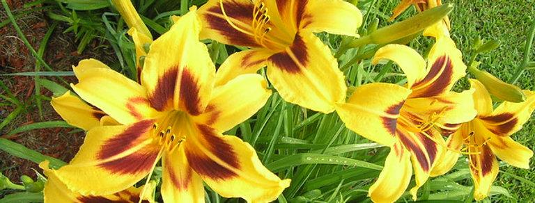 'Bonanza' Daylily (Hemerocallis)