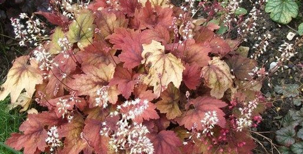 'Sweet Tea' Heuchera (Coral Bells)