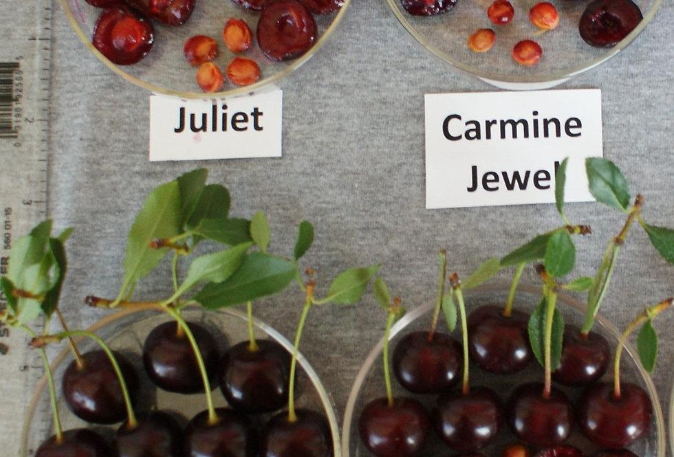 Juliet Cherry