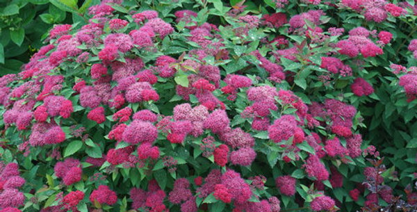 'Double Play Doozie' Spirea