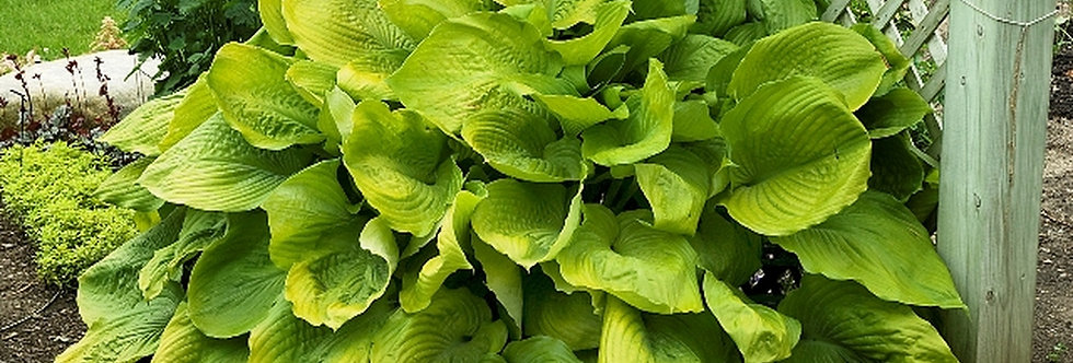 Sum and Substance Hosta