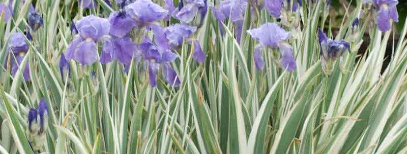 'Albovariegata' Iris