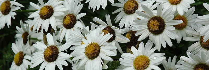 'Alaska' Shasta Daisy (Leucanthemum)