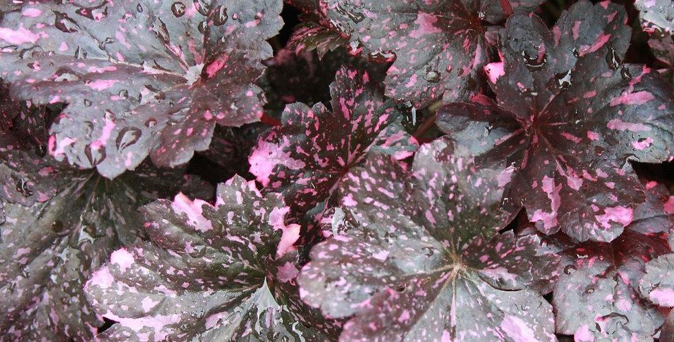 'Midnight Rose' Heuchera (Coral Bells)