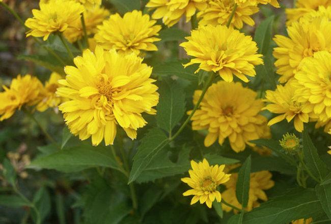 ' Summer Sun' Heliopsis