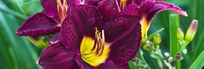 'Bella Lugosi' Daylily (Hemerocallis)