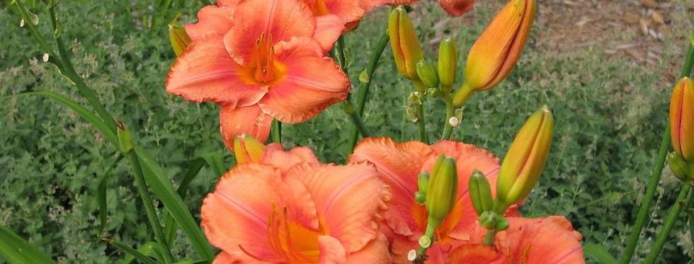 'South Seas' Daylily (Hemerocallis)